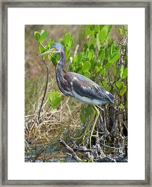 Tricolored Heron Framed Print