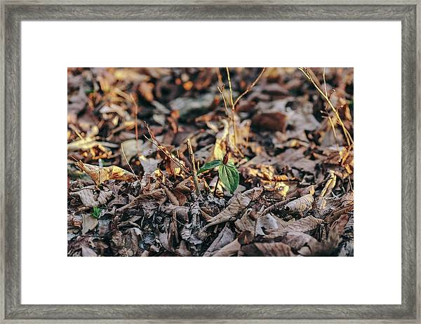 Trillium Blooming In Leaves On Forrest Floor Framed Print