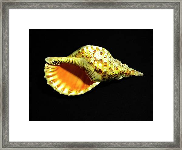 Triton Trumpet Seashell Cymatium Tritonis Framed Print