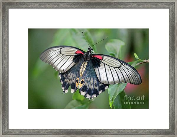 Tropical Butterfly Framed Print