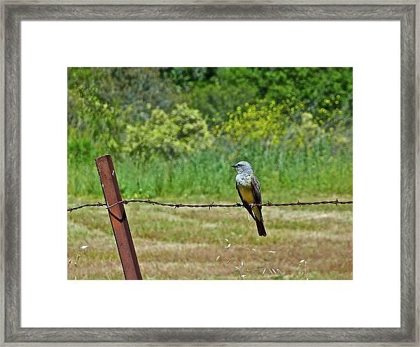 Tropical Kingbird Framed Print