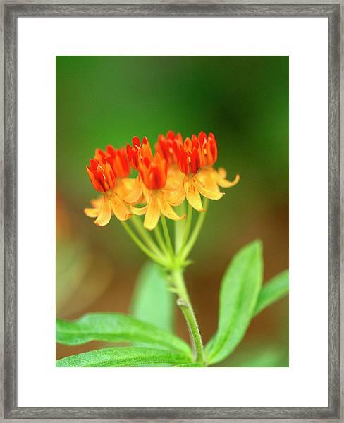 Tropical Milkweed Framed Print