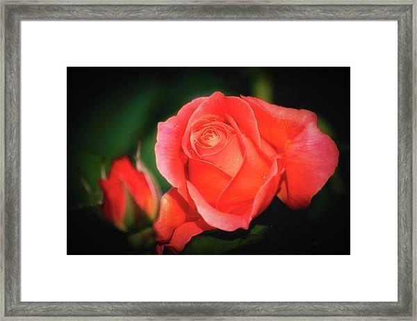 Tropicana Rose Framed Print