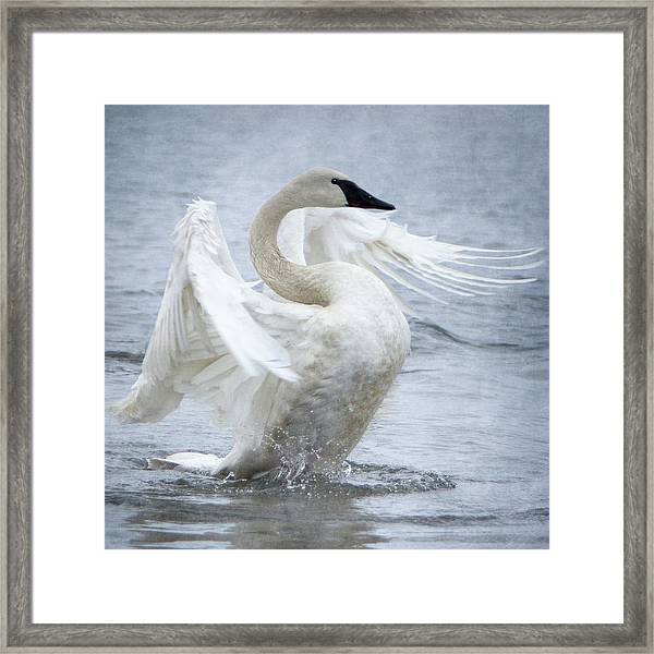 Framed Print featuring the photograph Trumpeter Swan - Misty Display 2 by Patti Deters