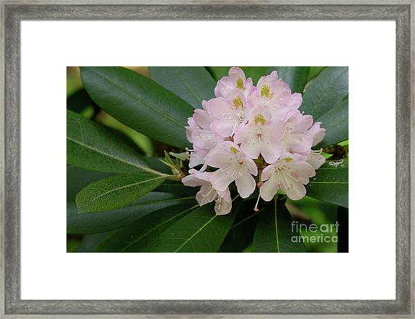 Tucker County Rhododendron Framed Print
