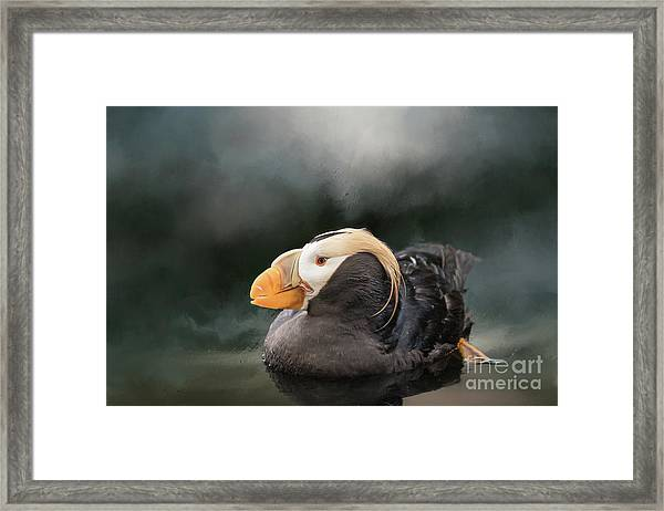 Tufted Puffin Framed Print