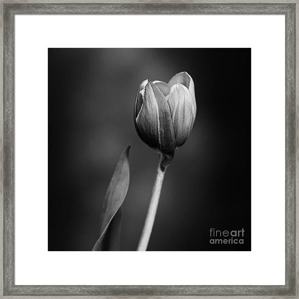 Tulip #175 Framed Print