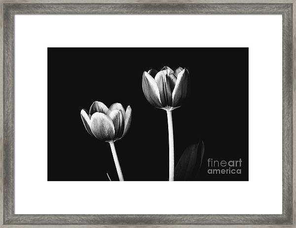 Tulip #177 Framed Print