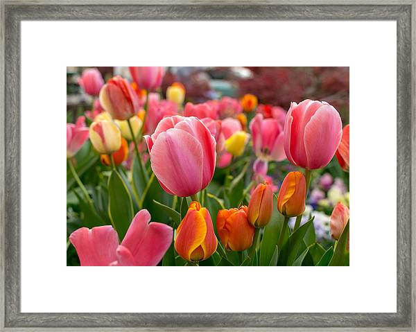 Tulip Bed Framed Print