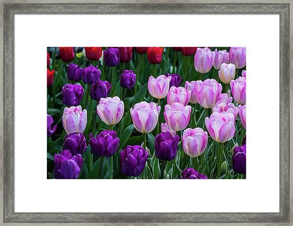 Tulip Blush Framed Print