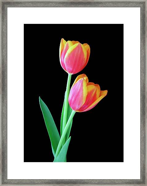 Tulip Duo Framed Print