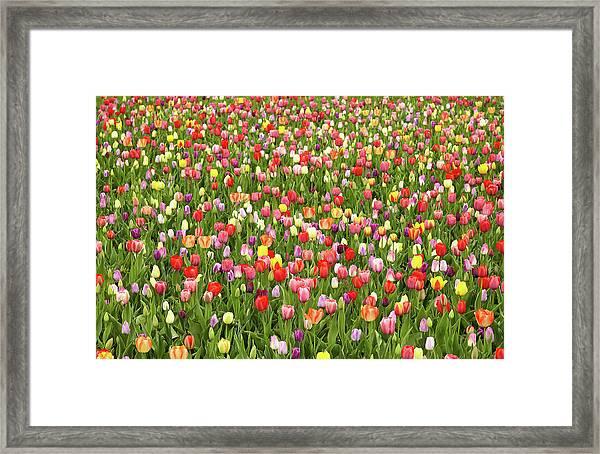 Tulip Field Framed Print