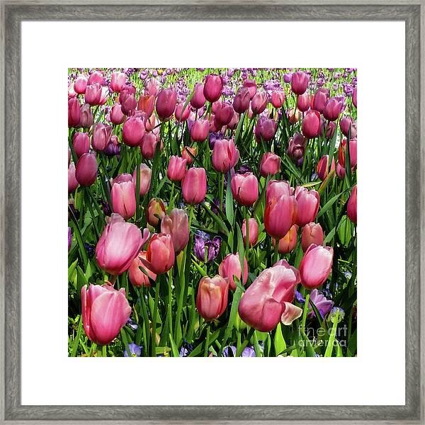 Tulip Flowers  Framed Print