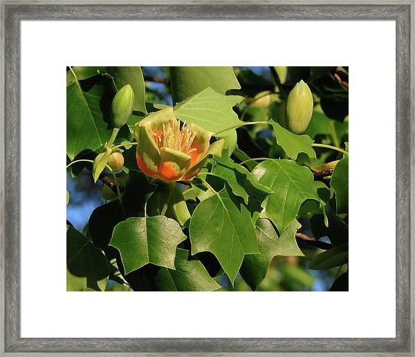 Tulip Poplar Framed Print