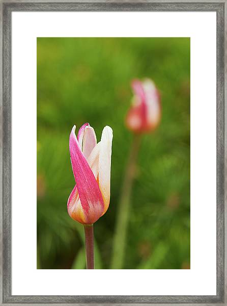 Tulip Time Framed Print