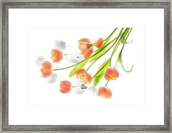 A Creative Presentation Of A Bouquet Of Tulips. Framed Print