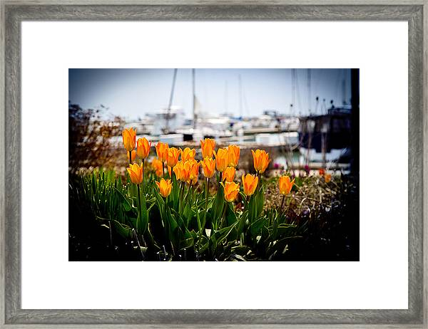 Tulips By The Harbor Framed Print