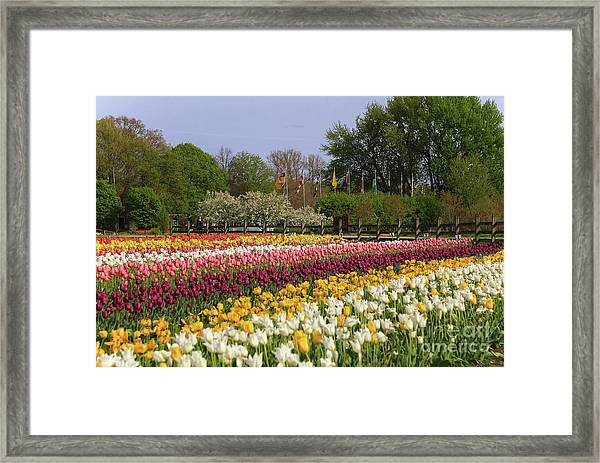 Tulips In Rows Framed Print