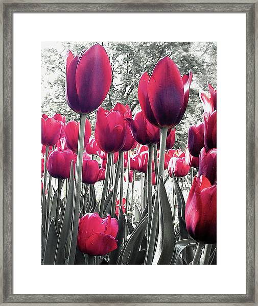 Tulips Tinted Framed Print