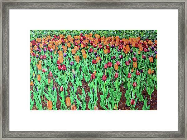 Tulips Tulips Everywhere Framed Print