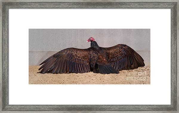 Turkey Vulture Spreading Wings Framed Print