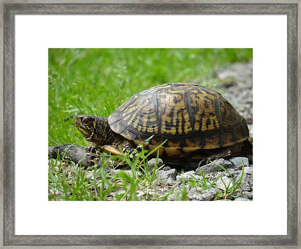 Turtle Crossing Framed Print