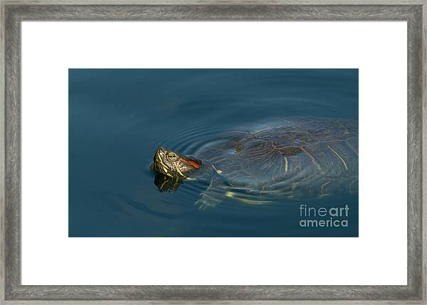 Turtle Floating In Calm Waters Framed Print