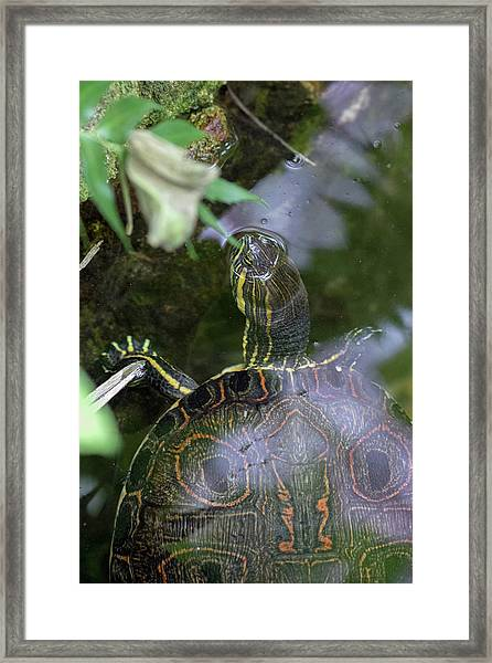 Turtle Getting Some Air Framed Print