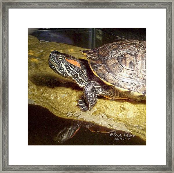 Turtle Reflections Framed Print