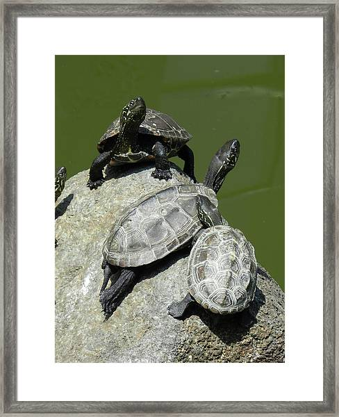 Turtles At A Temple In Narita, Japan Framed Print
