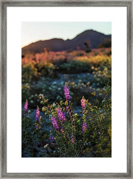 Twilight Lupine Framed Print