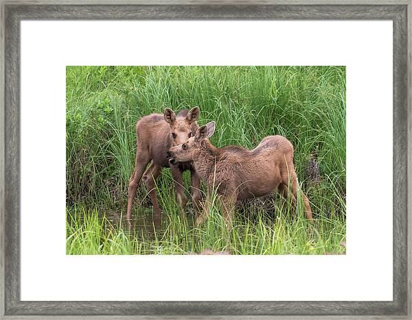Twin Moose Playing In The Water Framed Print