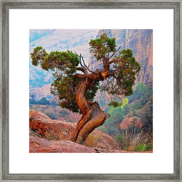 Twisted, Cedar Pine, Zion National Park, Utah Framed Print