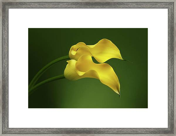 Two Calla Lily Flowers On Green Background Framed Print