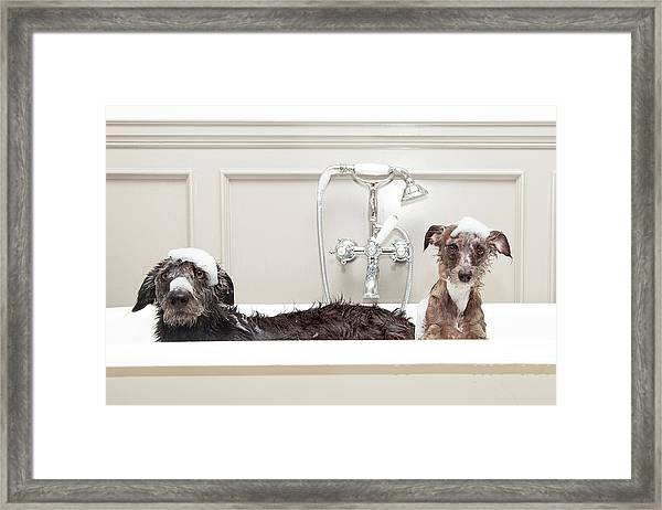 Two Funny Wet Dogs In Bathtub Framed Print