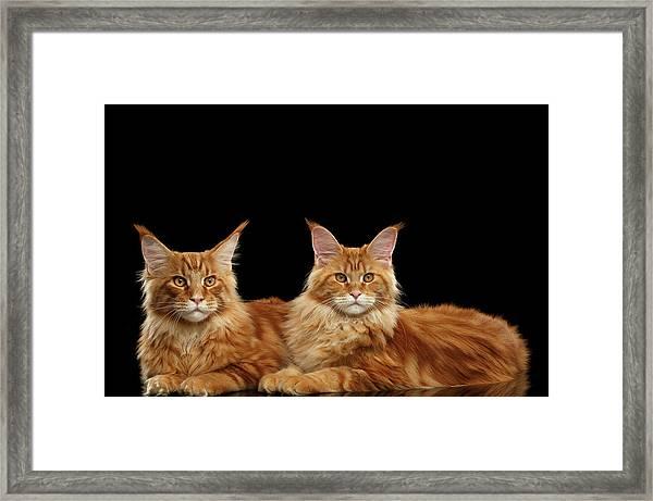 Two Ginger Maine Coon Cat On Black Framed Print