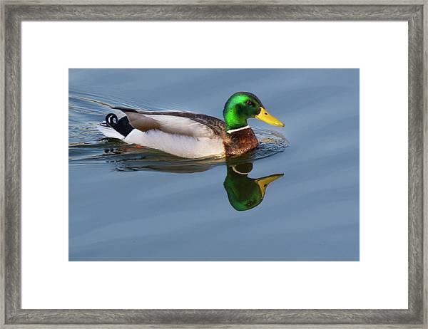 Two Headed Duck Framed Print