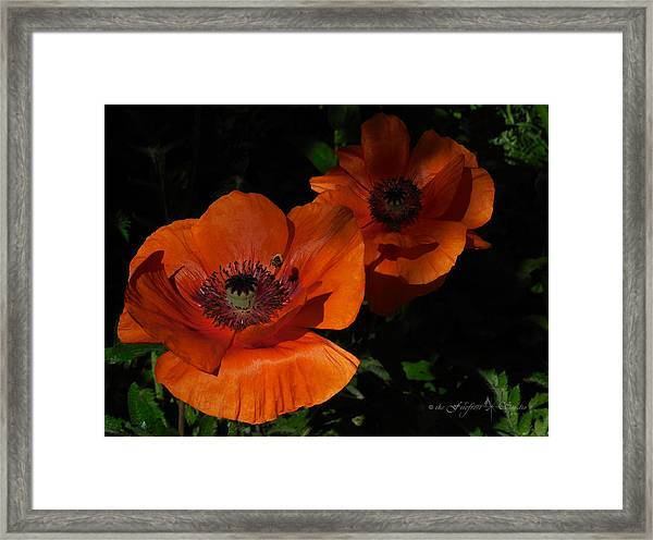 Two Poppies  And A Bee Framed Print