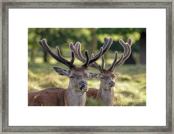 Two Red Deer Stags - Cervus Elaphus - Growing Velvet Antlers In Re Framed Print