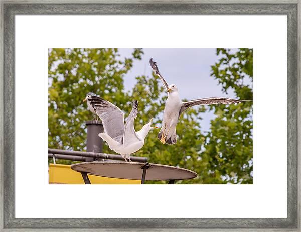Two Seabird Fighting Framed Print