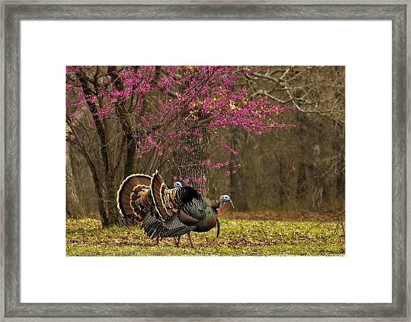 Two Tom Turkey And Redbud Tree Framed Print
