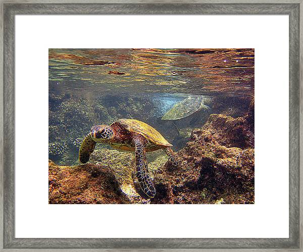 Two Turtles Framed Print