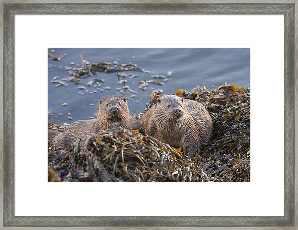 Two Young European Otters Framed Print