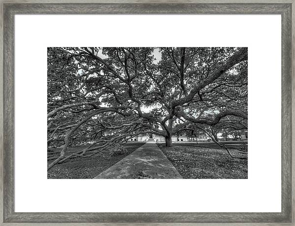 Under The Century Tree - Black And White Framed Print