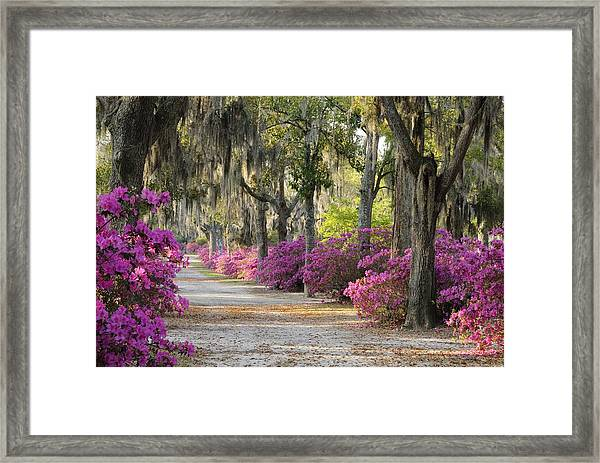Unpaved Road With Azaleas And Oaks Framed Print