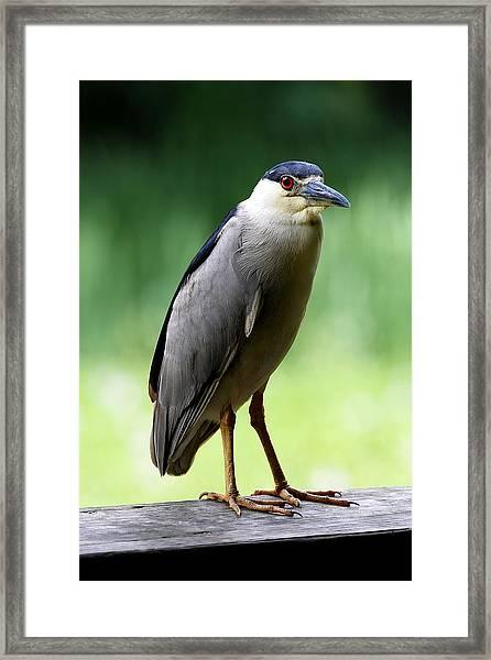 Upstanding Heron Framed Print