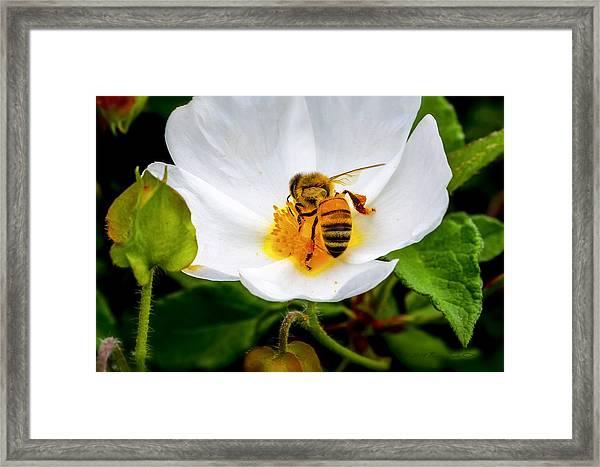 Vacaville Honey Bee Framed Print