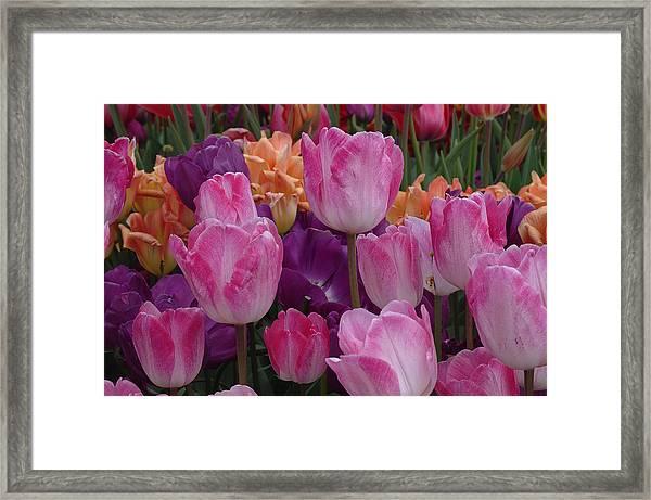 Pink Persuasion Framed Print
