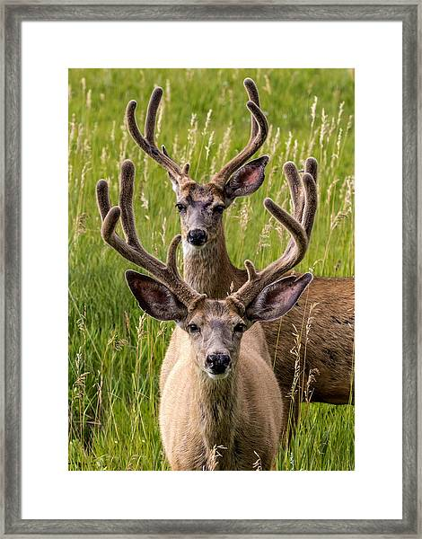 Velvet Bucks Framed Print