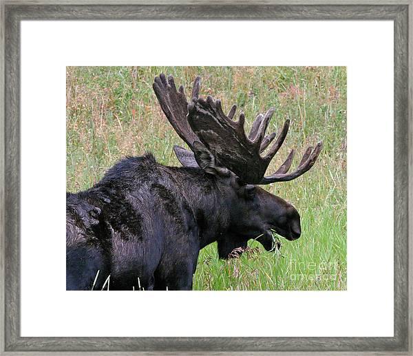 Velvet Moose Framed Print